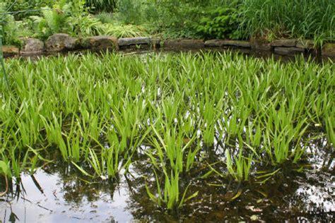 Wasserpflanzen Pflege by Staudenkulturen Stade Wassenpflanzen Richtig Pflanzen