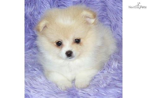 teacup pomeranian puppies for sale in missouri pomeranian puppy for sale near springfield missouri 6b1e175f a081