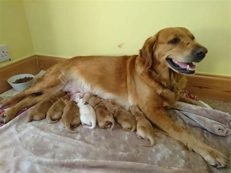 golden retrievers for sale in uk 5 golden retrievers for sale ashford middlesex pets4homes