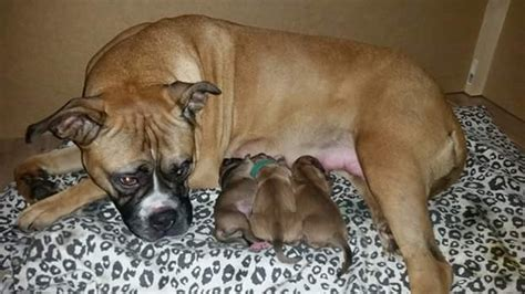 bulloxer puppies for sale bulloxer puppies for sale witham essex pets4homes
