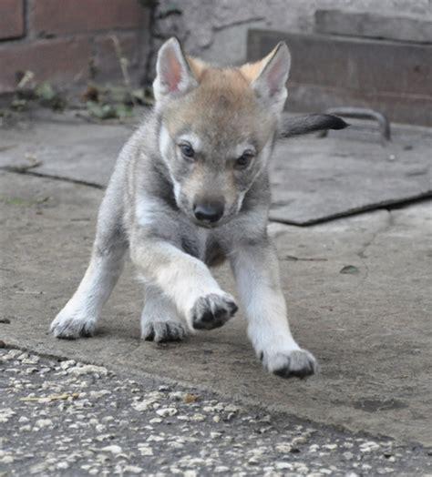 czechoslovakian wolfdog puppies czechoslovakian wolfdog info temperament puppies pictures