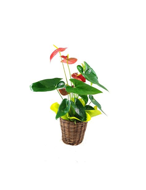 fiori anthurium pianta di anthurium tropical flowers