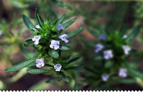 sarriette vivace cuisine sarriette vivace semis plantation entretien au jardin