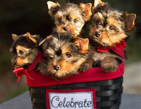 teacup yorkies information yorkie terriers and yorkie puppies breeds picture