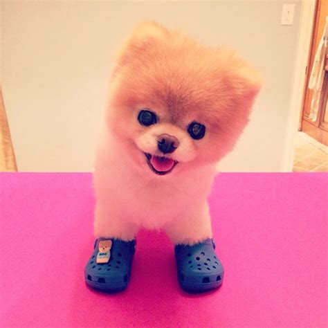 boo the pomeranian who can get crocs some respect boo the pomeranian