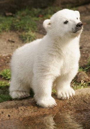 pictures knut  polar bear world news  guardian