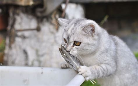 cat silver silver cat and feather wallpapers and images wallpapers