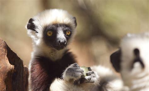 baby lemur madagascar photos by casey