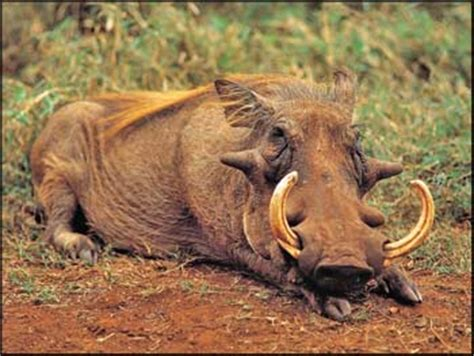 warthog pictures   big tusk male  baby warthog
