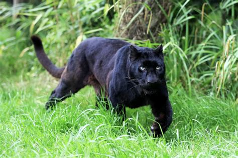 Huge Black Panther On The Loose In Britain Terrified Black Panther Images
