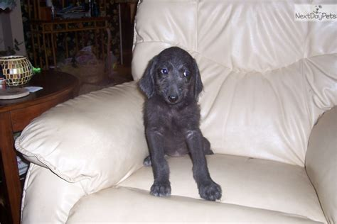 weimardoodle puppies for sale bluebelle weimardoodle puppy for sale near springfield missouri 6b79e511 cad1