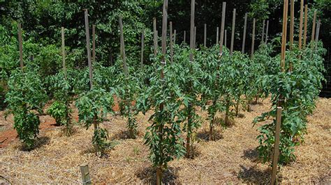 Should You Grow Determinate or Indeterminate Tomato Plants