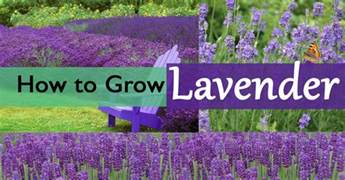 how to grow lavender plants