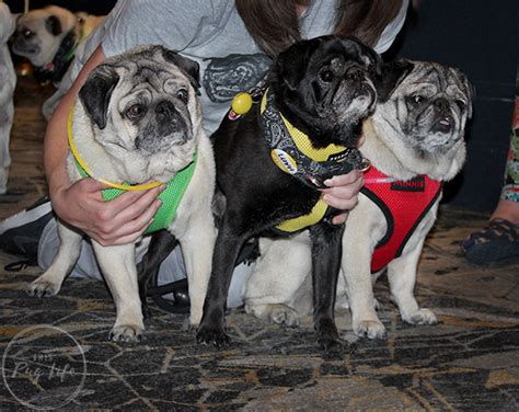pug chicago pugs take chicago pug prosecco hour at hotel allegro this pug