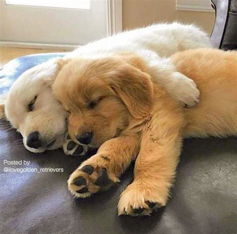 how to keep a golden puppy away from the xmas tree best 25 baby golden retrievers ideas on retriever puppies adorable puppies and