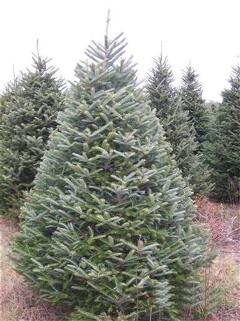 christmas trees types pictures types of trees holidappy