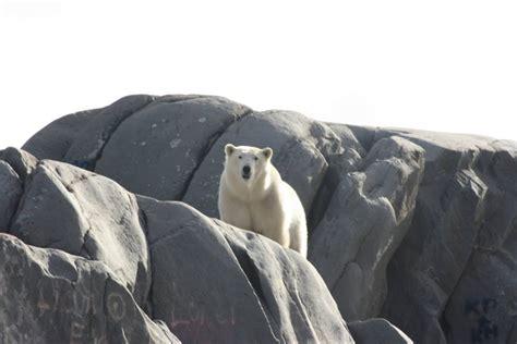 churchill photos of the week churchill polar bears