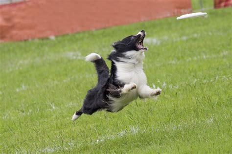 high energy dogs high energy breeds