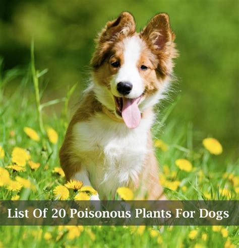 Gardenia Toxic To Dogs List Of 20 Poisonous Plants For Dogs Http Homestead
