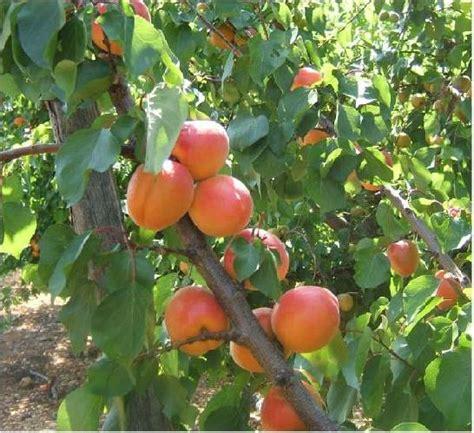 come potare i pomodori in vaso coltivare l albicocco non 232 per tutti lepiantedafrutto it