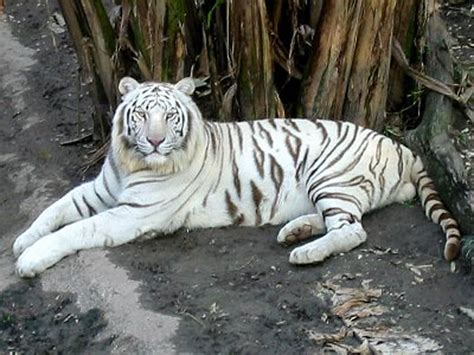 white tiger pictures desktop wallpapers white tiger desktop wallpapers