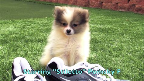 pomeranian puppies for sale in california southern pomeranian puppies for sale in southern california lab puppies worlds cutest