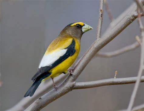 uccelli esotici da gabbia uccelli da gabbia frosone vespertino