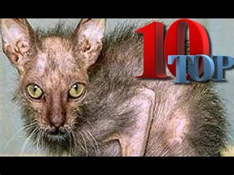 Worlds's UGLIEST Cats (Top 10!!!)   YouTube