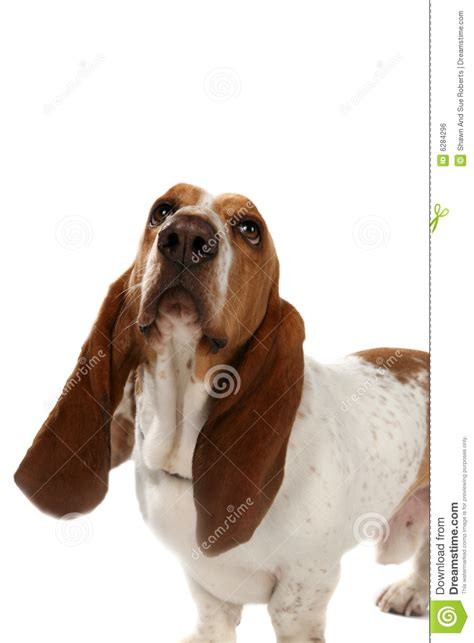 Basset Hound With Big Long Ears Royalty Free Stock Image ...