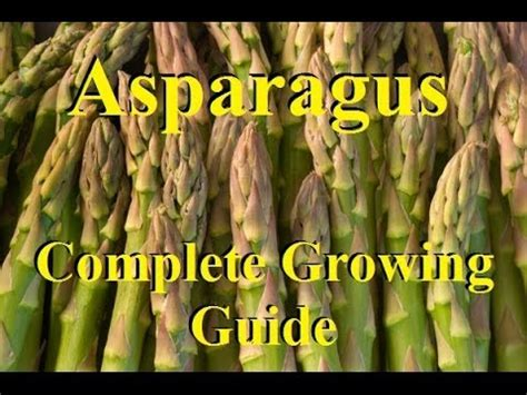 how to a grown how to grow asparagus complete growing guide