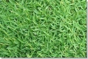 carpetgrass seed 1 lb