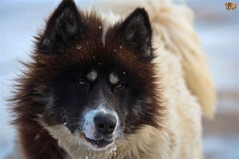 canadian eskimo canadian eskimo breed information facts photos care pets4homes