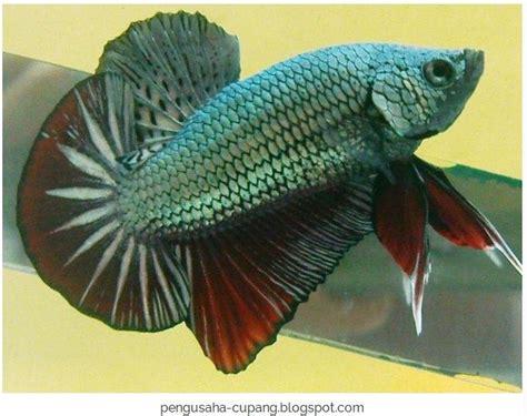 Pakan Ikan Cupang Cepat Besar usaha ikan hias yang menguntungkan dengan omzet jutaan