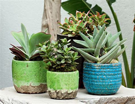 Indoor Vegetable Container Gardening - suculentas ems chinese and cacti