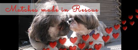 shih tzu and furbaby rescue ny shih tzus furbabies shih tzu furbaby rescue is dedicated to breeds picture