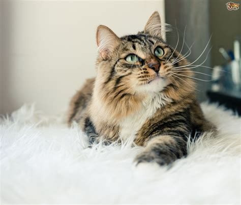Why Do Cats Shed by Cats Shedding Fur Images