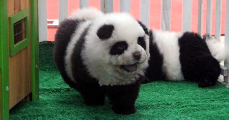 how do you make puppy chow canine trend in china panda dogs dogtime
