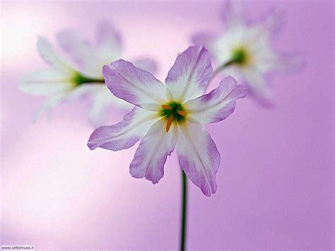 fiori sfondo foto fiori singoli per sfondi settemuse it