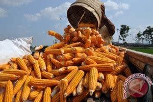 Tanam Jagung Pakan Ternak gpmt 95 persen kebutuhan jagung di sumut untuk pakan ternak