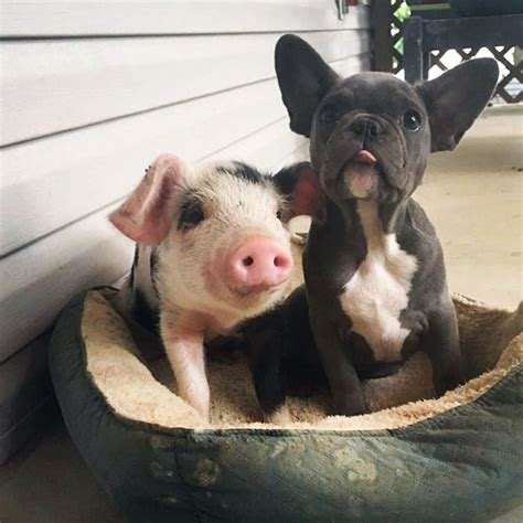 puppy and piglet rescue piglet becomes best friends with a bulldog top13