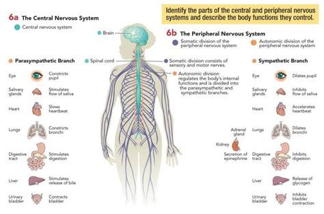 diagram of central and peripheral nervous system central and peripheral nervous systems 171 empower addiction