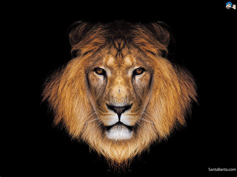 wallpaper hd of lion lion wallpaper wallpaper wide hd