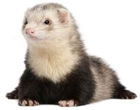 ferrets pet care carefresh healthy pet