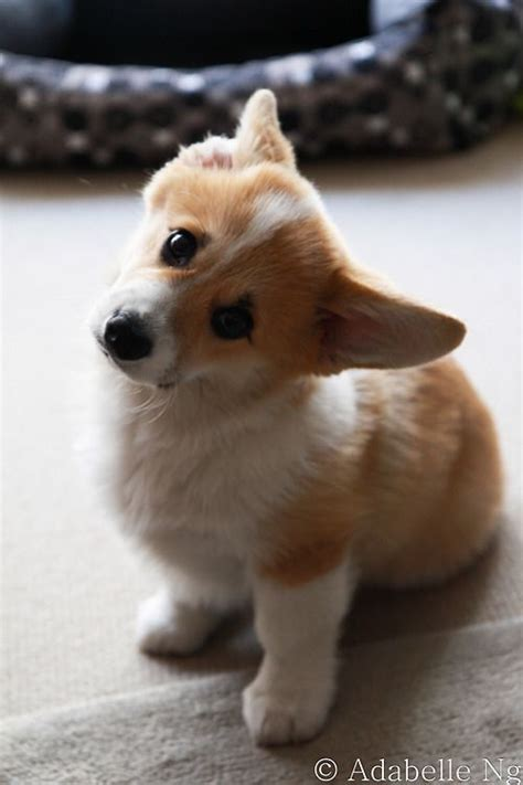 baby corgi puppies i am so in with this corgi dogs and puppies corgi