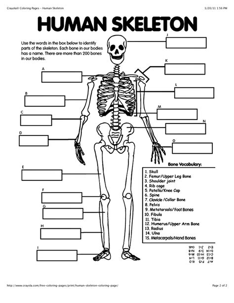 related keywords suggestions for human skeleton template