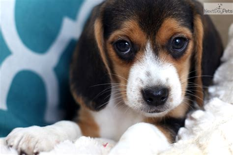 beagle puppies for sale near me beagle puppy for sale near southeast missouri missouri e5b8b227 d811