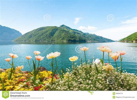 fiori lugano flowers near lake with swans lugano switzerland stock
