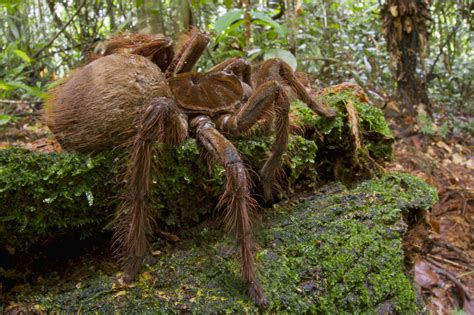 puppy sized spider puppy sized spider makes us want to cuddle photos huffpost