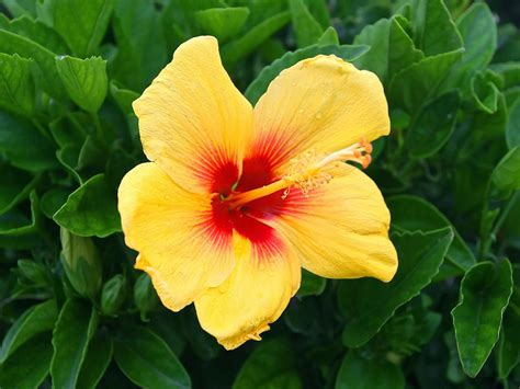 fiore flowers yellow hibiscus flowers wallpapers beautiful flowers