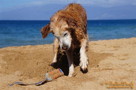 do golden retrievers dig digging bad habit or just seeing the end golden woofs